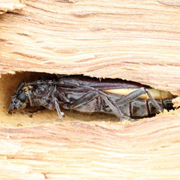 Capricorne De Bois - QCM Reconna u00eetre les insectes et les champignons QCM Termites